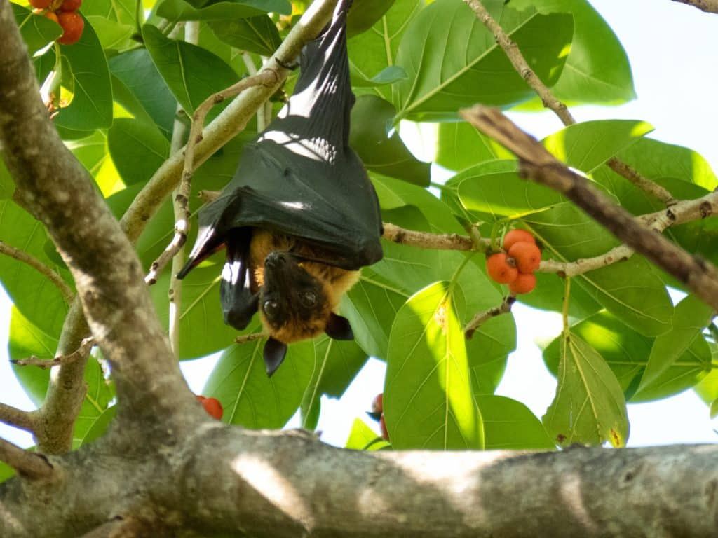 A fruit bat hanging upside down from a tree in the afternoon