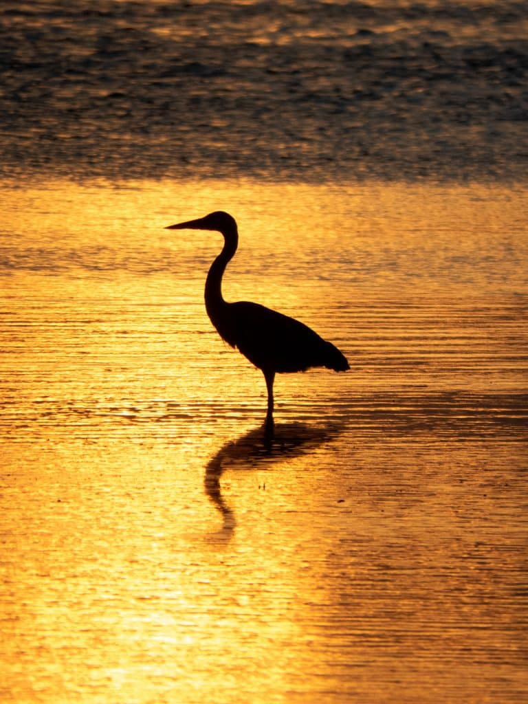 A bird standing in the golden sunset ocean
